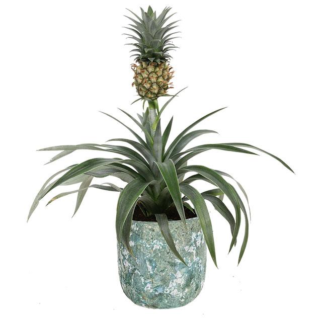 Pineapple Ananas Product