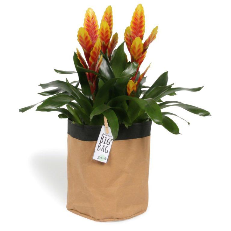 Bromelia Big Bag Davine