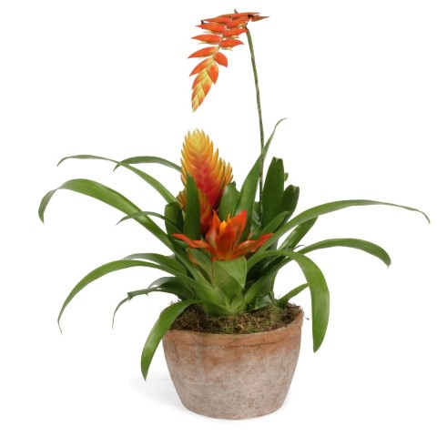 Bromelia terracotta