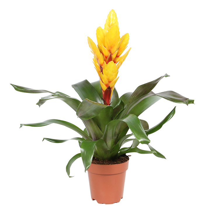 Vriesea Intenso Yellow