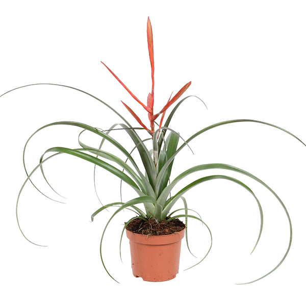 Tillandsia Spirit